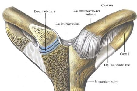 A csontok folyamatos ízületeinek vázlata. Az emberi csontok összekapcsolása